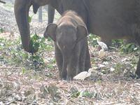 ピンナワラ象/孤児院の子ゾウ