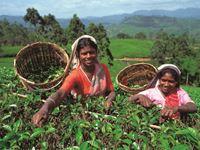 ヌワナエリア/美しい茶畑