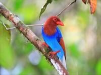 スリランカの色彩豊かな鳥 /イメージ