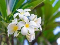 プルメリアの花/イメージ