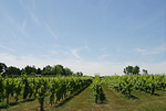 ワインブドウ畑