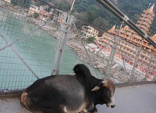 橋の上の牛