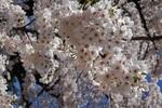 タイトル用弘前公園桜