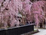 かくのだて桜