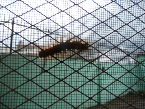 ブラシのような虫6