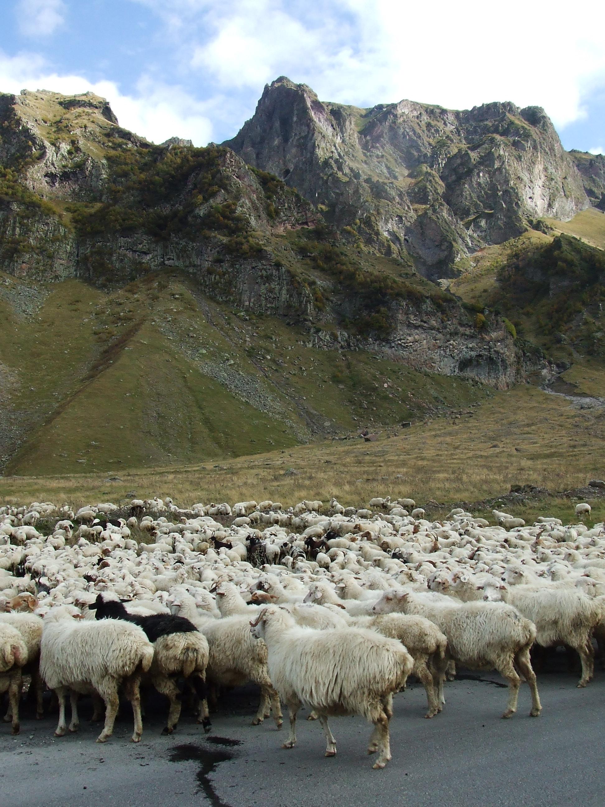 sheep 99