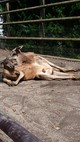 アフリカンサファリのカンガルー