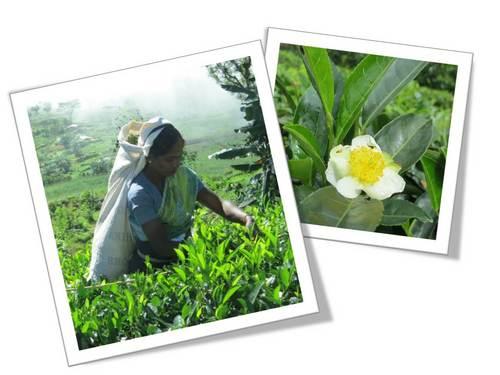茶摘みと花