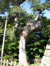 弘前公園 鶴の松