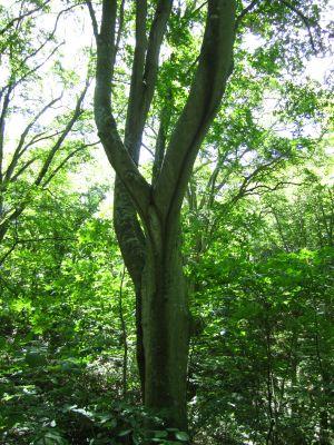 ブナ 樹幹流