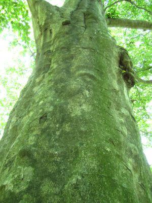 ブナ 樹齢400年