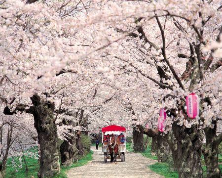 北上展勝地 桜