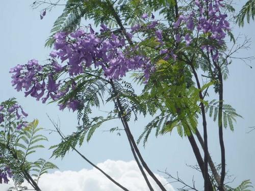 jacaranda2