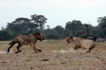 アンボセリのライオン