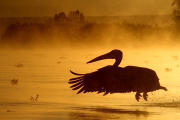 ナイバシャ湖ペリカン