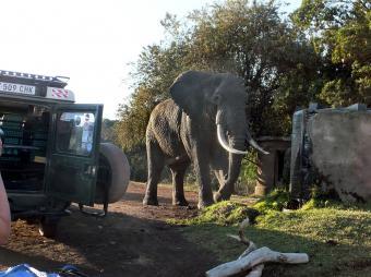 キャンプサイトにやってくるアフリカゾウ