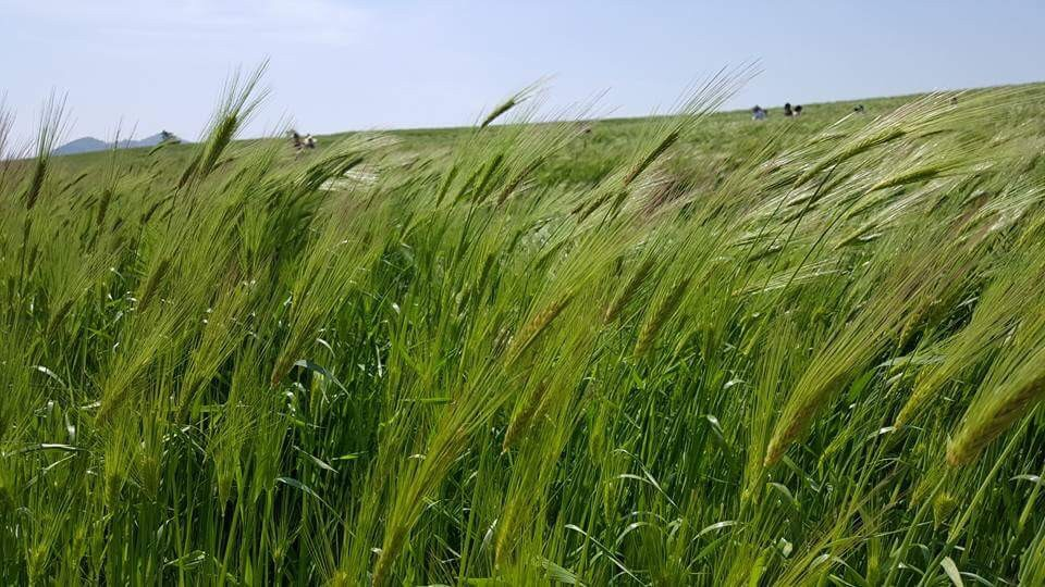 広い麦畑。青い匂いがいっぱい