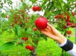 りんごTOP