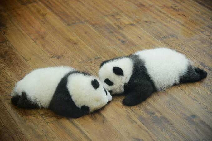 可愛いパンダの触れるツアー