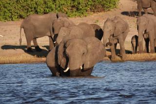 チョベ川ゾウがやってくる
