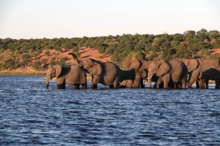 チョベ川を渡るアフリカゾウ