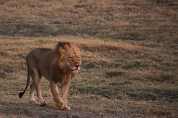 チョベのライオン