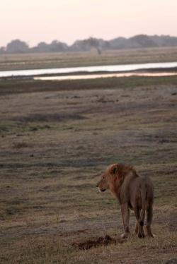 チョベ川沿いのライオン