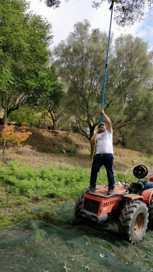オリーブ摘み
