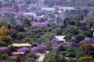 丘の上から見たジャカランダ並木