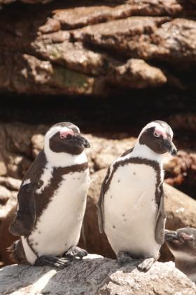 ボルダーズビーチのペンギン2