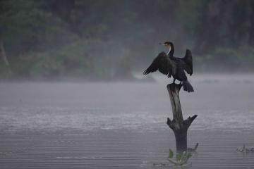 ナイバシャ湖のカワウ