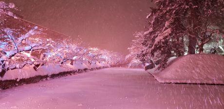 冬のさくら