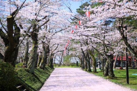 千秋公園桜まつり2