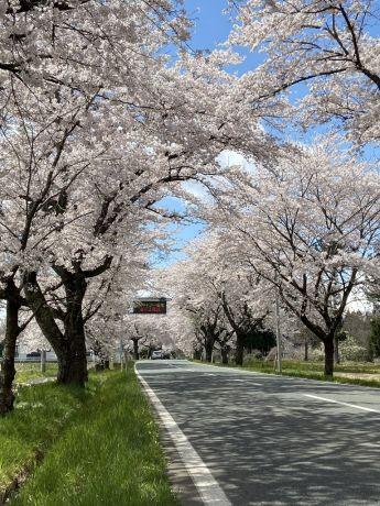桜の回廊2