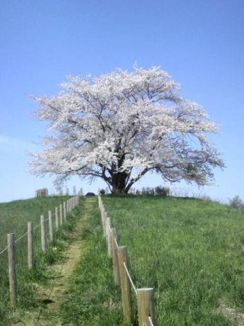 八幡平桜1