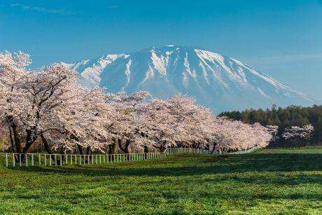 小岩井農場桜並木