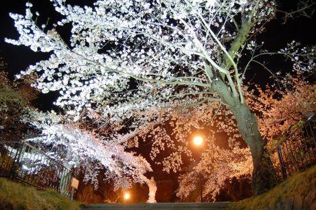 薬師公園夜桜
