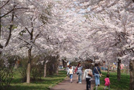 鶴の舞橋桜1