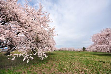 浪岡城桜2