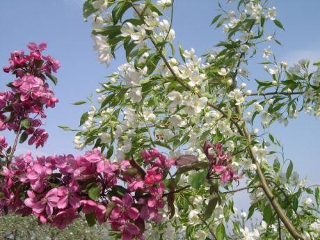 りんごの花まつり