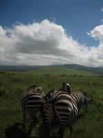 ZebraNgorongoro