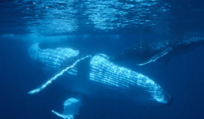 ティケハウクジラ