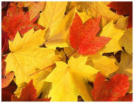 カナダ紅葉