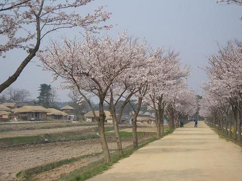 安東河回村桜