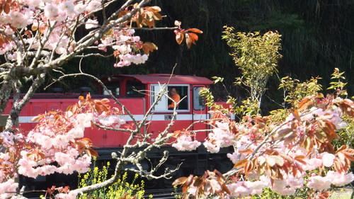 桜の中を走る列車