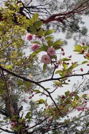 おおた桜 新種桜開花