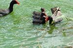 水浴びするアラエ・ウラ2