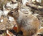 Zion_Squirrel2