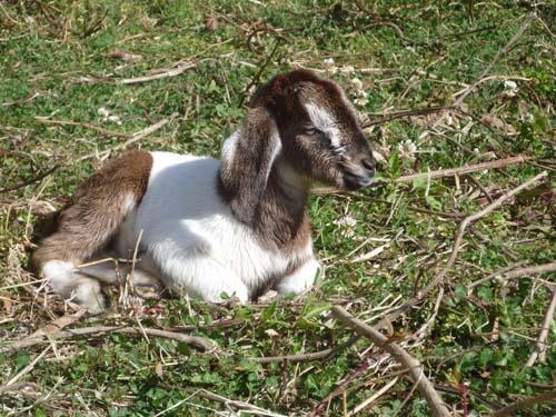 ヤギの赤ちゃん 1