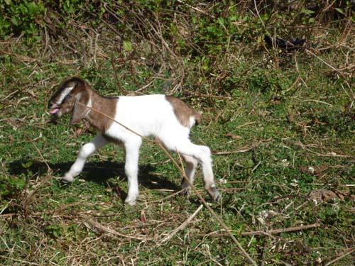 ヤギの赤ちゃん 2